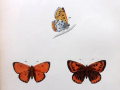 18th February 2019. Morris Butterfly Prints